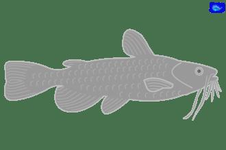 catfish art graphic, fishing design